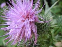 пурпуровый thistle Стоковые Изображения
