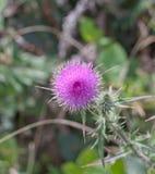пурпуровый thistle Стоковое фото RF