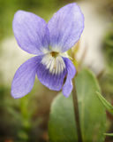 пурпуровый wildflower Стоковые Изображения