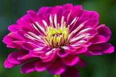 Пурпуровый Zinnia Стоковые Изображения RF