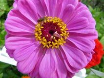 Пурпуровый Zinnia Стоковая Фотография RF