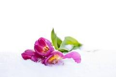 Тюльпаны в снежке Стоковые Фотографии RF