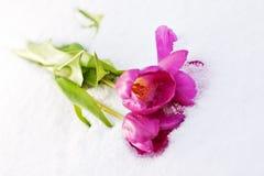 Тюльпаны в снежке Стоковое Изображение RF