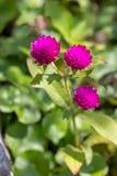Пурпур амаранта глобуса 3, предпосылка зеленые лист стоковая фотография rf