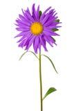 пурпур астры свежий Стоковые Изображения RF
