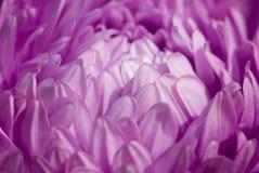 пурпур астры Стоковые Изображения
