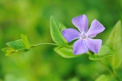 пурпур барвинка зеленого цвета цветка предпосылки Стоковая Фотография RF