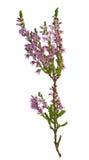 пурпур вереска ветви зеленый Стоковые Изображения
