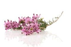 пурпур вереска Стоковые Фото