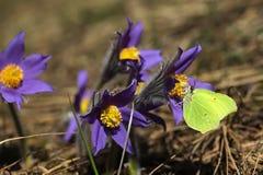 Пурпур весны цветет patens Pulsatilla pasqueflower Стоковая Фотография