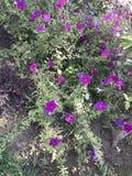 пурпур всегда красота Стоковые Изображения RF