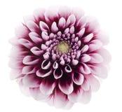 пурпур георгина Стоковая Фотография RF