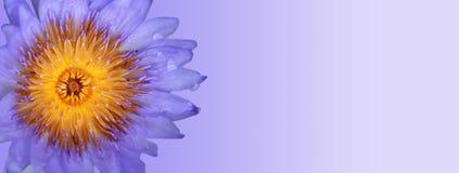 пурпур голубого лотоса Стоковое Изображение RF