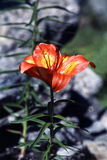 пурпур горечавки Стоковая Фотография