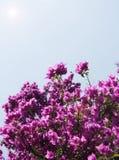 пурпур завода азалии Стоковые Изображения RF