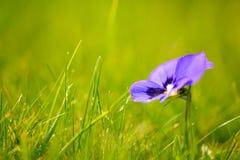 пурпур зеленого цвета травы цветка Стоковые Фото