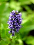 пурпур зеленого цвета blosoom backgroun Стоковая Фотография RF