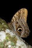пурпур императора бабочки стоковое изображение rf