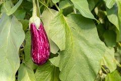 Пурпур и белизна striped плодоовощ баклажана от конца Стоковая Фотография