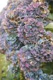Пурпур и голубые головы цветка гортензии увядать Стоковые Изображения