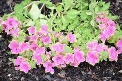 Пурпур и зеленый цвет окаимили звезду Стоковые Фотографии RF
