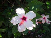 Пурпур и розовый гибискус на зеленой предпосылке, тропическом цветке лета Зеленые тропические листья Предпосылка джунглей пляж тр стоковая фотография rf