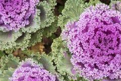 пурпур капусты декоративный Стоковые Изображения RF
