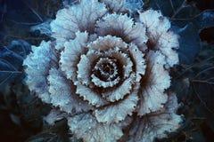 пурпур капусты декоративный Стоковая Фотография