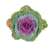 пурпур капусты орнаментальный Стоковая Фотография