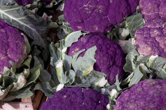 пурпур капусты Стоковые Фотографии RF