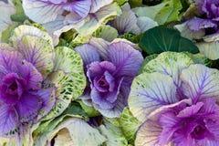пурпур капусты Стоковые Изображения RF