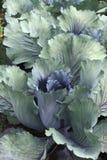 пурпур капусты Стоковое Фото