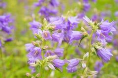 Пурпур колокол цветков Стоковые Фото
