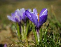 пурпур крокуса стоковая фотография rf