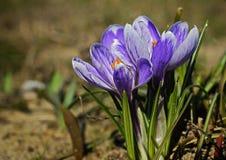 пурпур крокуса стоковое изображение