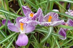 пурпур крокуса Стоковые Изображения RF