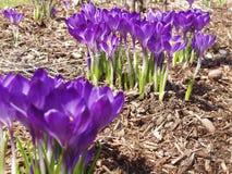 пурпур крокуса Стоковая Фотография