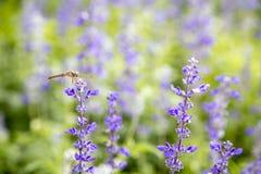 Пурпур крупного плана цветет officinalis salvia стоковые фотографии rf
