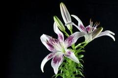пурпур лилии Стоковое фото RF