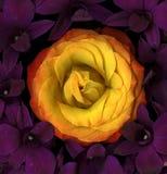 пурпур лилий померанцовый поднял стоковые изображения rf