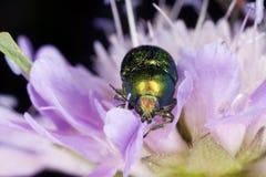 пурпур листьев подачи chrysomelidae жука подавая Стоковое фото RF