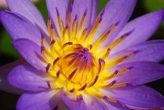 пурпур лотоса лилии Стоковые Фото