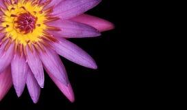 пурпур лотоса розовый Стоковое Фото