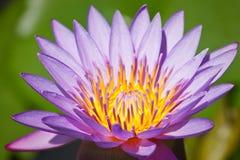 пурпур лотоса Стоковые Фотографии RF