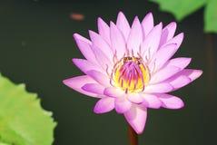 пурпур лотоса Стоковое Фото