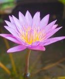 пурпур лотоса Стоковое Изображение RF