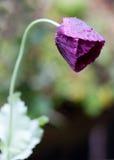 пурпур мака стоковое фото rf