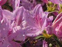 Пурпур макроса и розовые цветеня азалии стоковые изображения