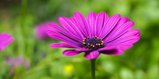 Пурпур маргаритки розовый Стоковое Изображение