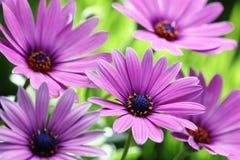 пурпур маргаритки Стоковое Изображение